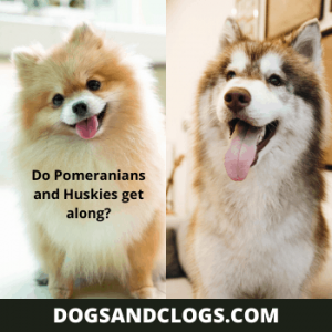 Do Pomeranians And Huskies Get Along?