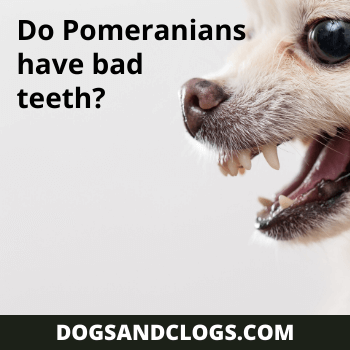 Do Pomeranians Have Bad Teeth?