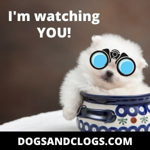 Pomeranians as a watch dogs