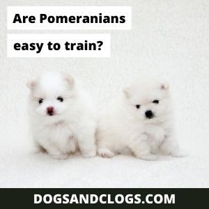 Are Pomeranians Easy To Train?