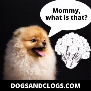 Can Pomeranian Eat Cauliflower