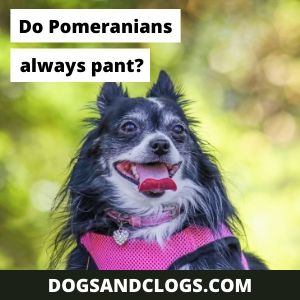 Do Pomeranians Always Pant