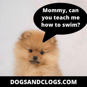How To Teach Your Pomeranian To Swim