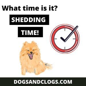 How often do Pomeranians shed