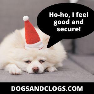 Pomeranian Feels Secure