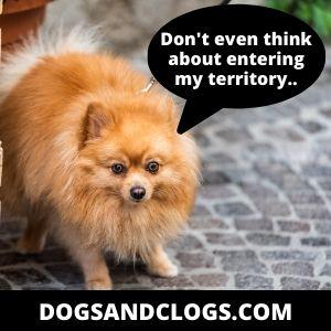 Pomeranian barking to protect his territory