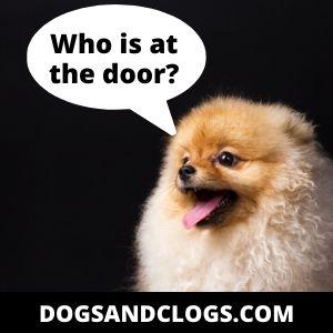 Pomeranian barks at the doorbell