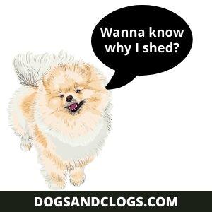 Why Do Pomeranians Shed