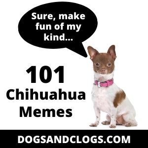 101 Chihuahua Memes