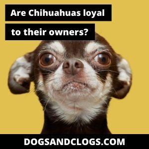Are Chihuahuas Loyal