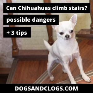 Can Chihuahuas Climb Stairs