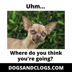 Chihuahua Meme Separation Anxiety
