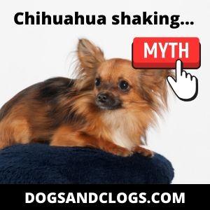 Chihuahua Shaking Myth