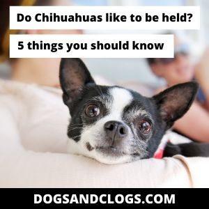 Do Chihuahuas Like To Be Held?