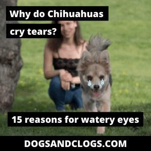 Why Chihuahuas Cry Tears