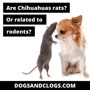 Are Chihuahuas Rats Or Rodents?