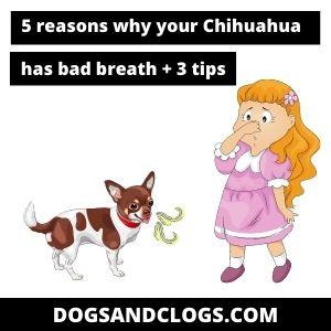 Chihuahua Bad Breath