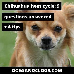 Chihuahua Heat Cycle