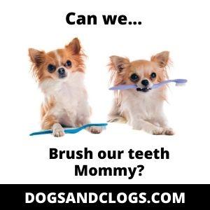 Chihuahua Meme Tooth Brush