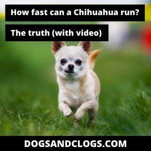 How Fast Can A Chihuahua Run