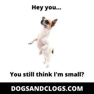 Small Dog Syndrome Meme