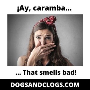 Why Does My Chihuahua Has Bad Breath