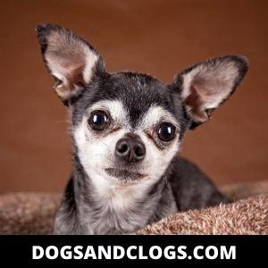 Cute Apple Head Chihuahua