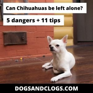 Can Chihuahuas Be Left Alone At Home