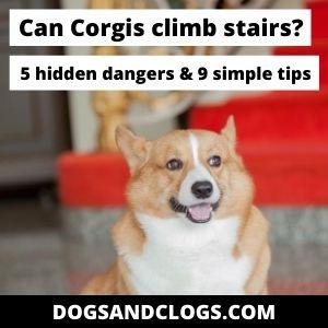 Can Corgis Climb Stairs