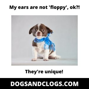 Chihuahua Floppy Ears Meme
