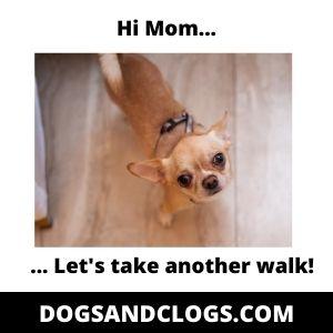Chihuahua Meme Another Walk