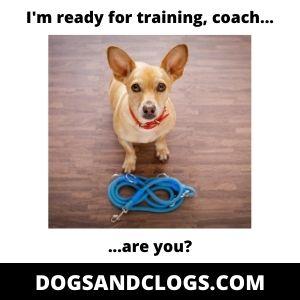 Chihuahua Training Meme