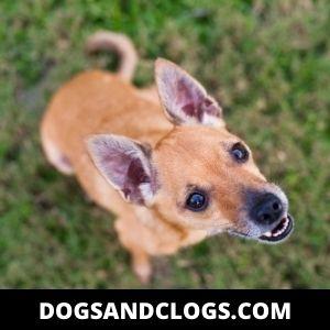 Cute Deer Head Chihuahua