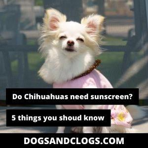 Do Chihuahuas Need Sunscreen