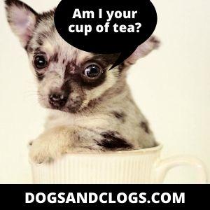 Apple Head Teacup Chihuahua