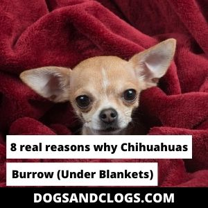 Why Do Chihuahuas Burrow Under Blankets