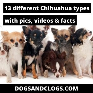 Different Chihuahua Types