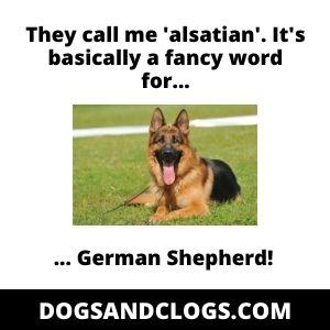 Alsatian German Shepherd Meme