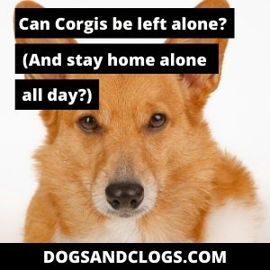Can Corgis Be Left Alone And Stay Home Alone All Day