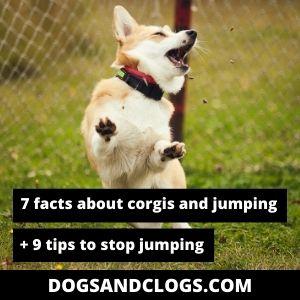 Can Corgis Jump