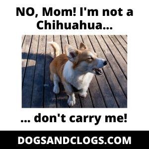 Carry Your Corgi Meme