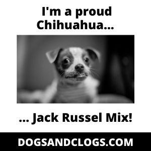 Chihuahua Jack Russel Mix Meme