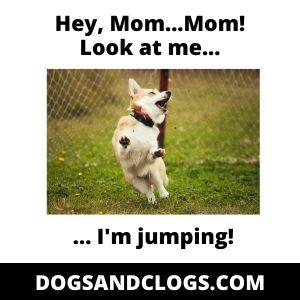 Corgi Jumping Meme