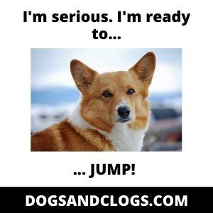 Corgi Starting To Jump Meme