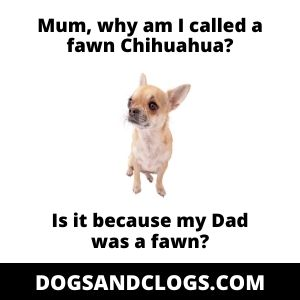 Fawn Chihuahua Meme