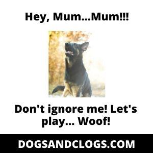 German Shepherd Asking For Attention Meme