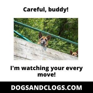 German_Shepherd Guard Dog Meme