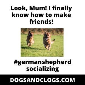 German Shepherd Socializing Meme