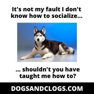 Husky Socialization Meme
