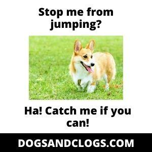 Stop Corgi From Jumping Meme